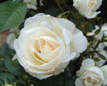Τριαντάφυλλο η ανθοϊανση της συντροφικότητας
